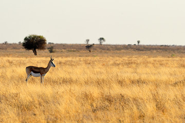 Lone springbok in a plain