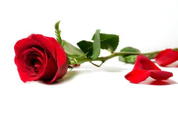rosa  su sfondo bianco