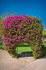 exotic flowers bougainvillea in Egypt white pink in the form of