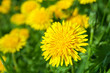 Yellow dandelion flowers - 76248803