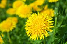 "Постер, картина, фотообои ""Yellow dandelion flowers"""