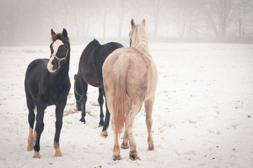 Horses on a meadow on a misty winter day