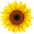 Sunflower, realistic vector illustration.