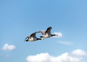 Geese and clouds