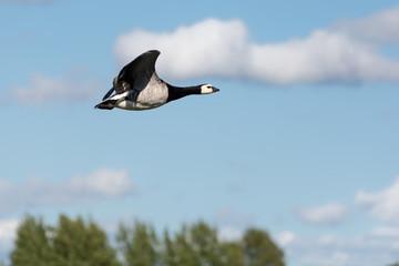 Goose in the sky