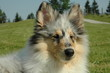 canvas print picture - Junger Collie