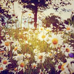 Blumenwiese -  Margeriten