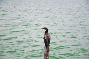 Indian Cormorant standing on pole