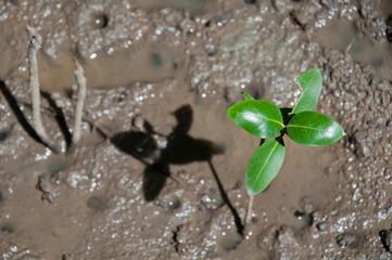Small mangrove tree growing on the mud