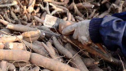 Farmer harvesting cassava