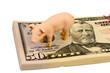 Schwein auf Dollar Banknoten