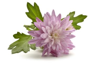 Chrysanthemum Złocień キク属 Хризантема Crisantemo أقحوان