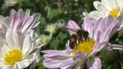 Abeja con polen