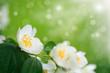 branch blooming jasmine
