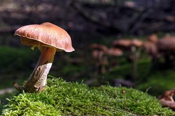 Einzelner Pilz auf Moos im Sonnenlicht