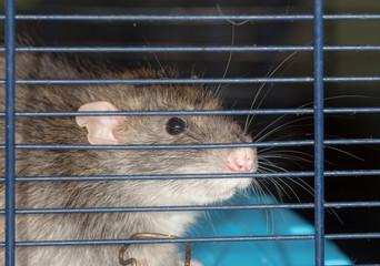 rat close up