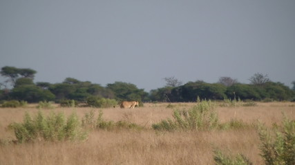 Female lion mother with cubs walking crossing field