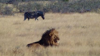 Male lion lick tongue zebras background Etosha Namiba Africa