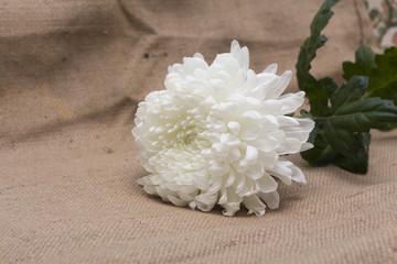 White chrysanthemums. Flowers. Photo.