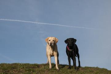labradors on a hill