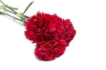 Red carnation. Flowers. Photo.