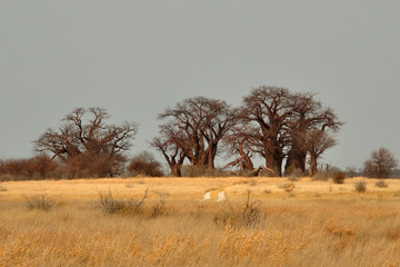 Baines'  baobabs in Nxai pans