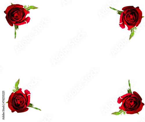 canvas print picture rose flower on white background