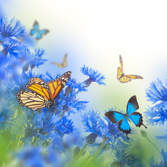 Wild blue cornflowers and butterfly