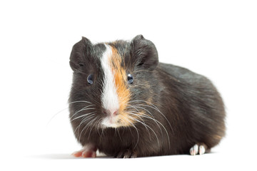 guinea pig looking