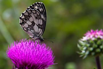Butterfly on the thistle - Farfalla sul cardo