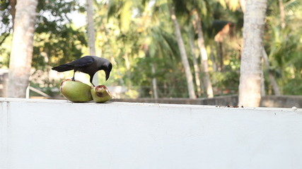 black crow eat coconut and flies and other crow fly