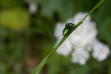 Beetles - Coleotteri