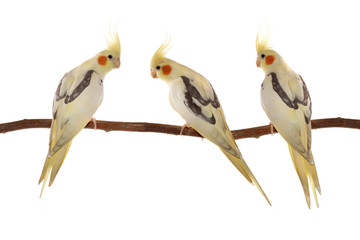 corella parrots sitting on the branch isolated on white