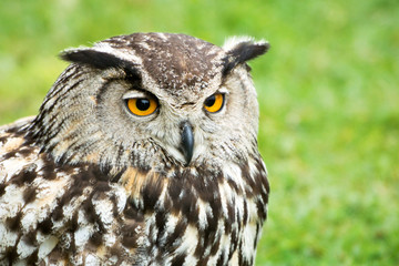 Great Horned Owl Head Close Up