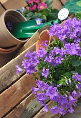campanule et jardinage