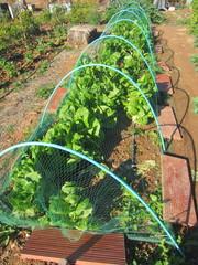 romaine lettuce under net