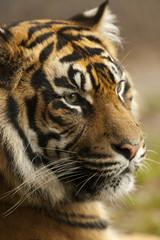 Portret Sumatraanse tijger