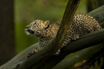 Sri Lanka panter wil springen.
