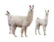 Female llama with babies - 76265463