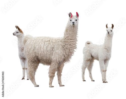 Female llama with babies - 76265463