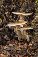 Agrocybe aegerita. growing on a dead log