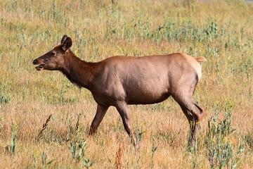 Elk cow (Cervus canadensis)