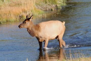 Female (Cow) Elk