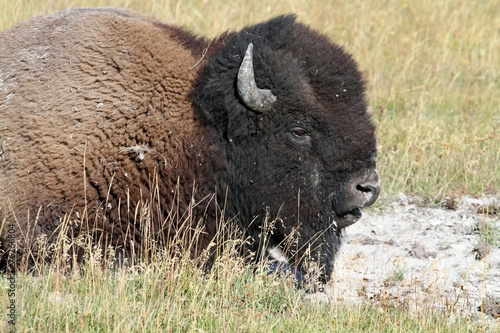 Keuken foto achterwand Bison American Bison (Buffalo)