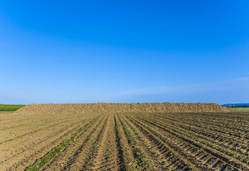 acres with indian corn in golden light