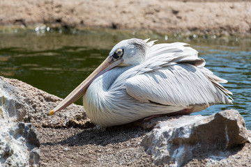 White pelican posing on a rock