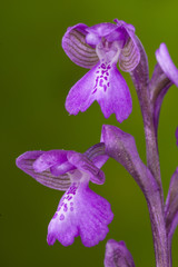 Orchis mascula on green background, Spain