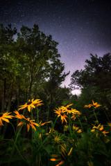 Black Eyed Susans Under the Stars
