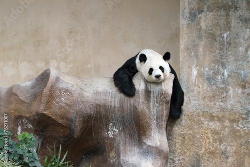 Foto op Canvas Panda panda bear resting