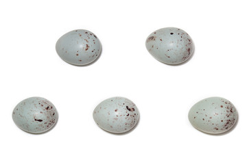 Acanthis cannabina. The eggs of the Linnet in front